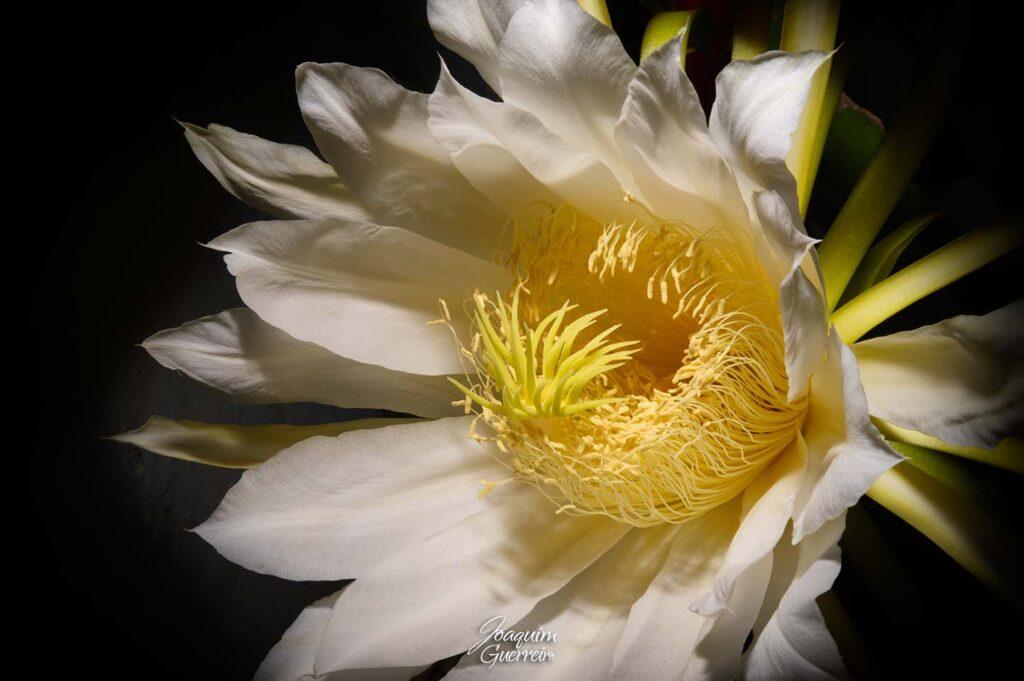 Flor da pitaya